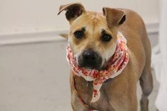 ADOPTD>NAME: Lily  ANIMAL ID: 23407604  BREED: retriever/boxer mix  SEX: female (spayed)  EST. AGE: 1 yr  Est Weight: 36 lbs  Health: heartworm neg  Temperament: dog friendly, people friendly.  ADDITIONAL INFO: RESCUE PULL FEE: $12  Intake date: 12/7 Available:12/15