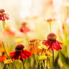 Botanical photography - daisy echinacea  macro 5x5 - nature fine art photography summer daisies golden red yellow. via Etsy.