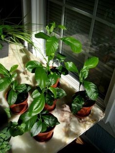 Detailed instructions for growing a lemon tree from seeds!  :)