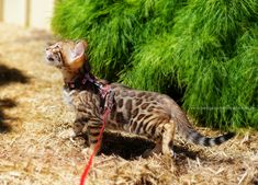 Meet The Bengal Cats And Kittens Of Ashmiyah Bengals Bengal Cats Australia What More Could One Want In L Bengal Cat Cats And Kittens Bengal Kitten