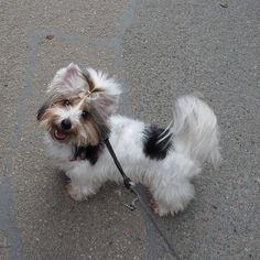 Happy in Port Issac 😀 #portissac #cornwall #happydog #happy #cute #cutedog #yorkie #yorkshireterrier#dog#hund#犬#愛犬#ヨーキー#ヨークシャテリア#yorkiegram #yorkiesofinstagram#yorkies#yorkielove #dogsofinstagram#dogstagram#dogs_of_instagram#doglovers#わんこ #biewer#cane#犬バカ部#hundeliebe#いぬ