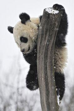 Snow climbing Giant Panda by Joseph Gelernter