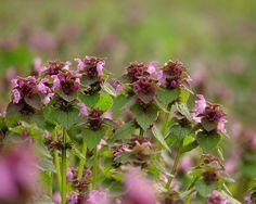 Lamiales, Lamiaceae, Lamium