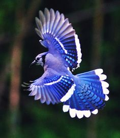 Great shot! Blue Jay
