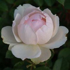 Figaro Panarosa™ | Ludwigs RosesLudwigs Roses
