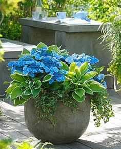 Shade Container Gardens | Hydrangea Blue Wave, Hosta Francee and Ivy, container gardening, color and texture in a container.