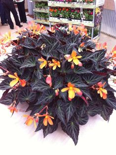 Begonia 'Sparks Will Fly' - new for 2013