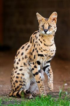 A beautiful Serval.