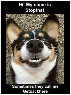 #funnycorgi
