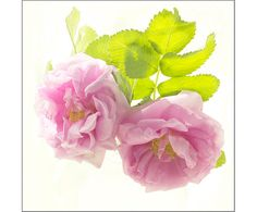 Rose Fine Art Print Rose Flower Photography French by JudyStalus