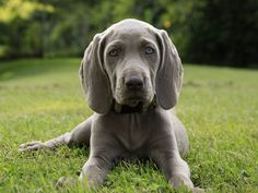 Weimaraner, best dogs ever! Cute Puppies, Cute Dogs, Dogs And Puppies, Doggies, Beautiful Dogs, Animals Beautiful, Cute Animals, Golden Retrievers, Weimaraner Puppies