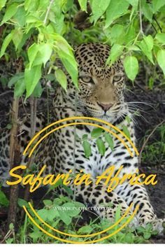 The most beautiful animal we have seen in the wild - leopard in Chobe. This happened in our Safari through Namibia, Botswana into Vic Falls.