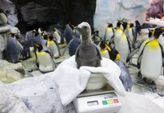 Penguins in Florida? Some lucky penguins call this state their home. Here are four places in Florida where you can see them waddle about. Baby Animals, Cute Animals, Orlando Theme Parks, Seaworld Orlando, King Penguin, Visit Florida, Baby Penguins, Exotic Fish, Sea World