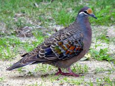 Adult Common Bronzewing (Phaps chalcoptera) loafing on grass.