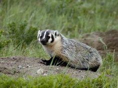 Badger at Waterton Lakes National Park