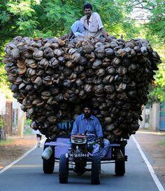 Deux fermiers sri-lankais transportent des centaines de noix de coco. (18 novembre 2013) Image: AFP