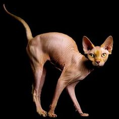 chat sphinx @michaelsusanno This cat had kittens, Our maid drowned the cats in our well.