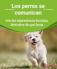 Los perros se comunican con las expresiones faciales  ¿Los perros se comunican a través de sus expresiones faciales? Averígualo en este artículo y descubre en qué consisten. #expresiones #comunicación #curiosidades #perros
