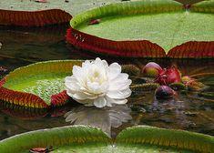 Nos rios da Amazônia, uma planta de folhas verde-escuro bóia sobre as águas. A vitória-régia (Victoria regia), é uma planta aquática típica da região amazônica. Suas folhas são grandes e de formato circular, com bordas dobradas, formando uma espécie de bacia. Elas podem chegar a 2 metros de diâmetro. As folhas da vitória-régia conseguem suportar o peso de uma criança pequena sem afundar na água.    Suas flores podem ser brancas ou rosadas, normalmente misturadas ao amarelo. Elas possuem…