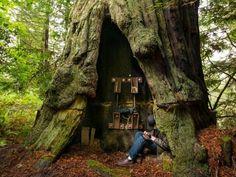 Luna, secuoya. Redwood Forest, Stafford, California
