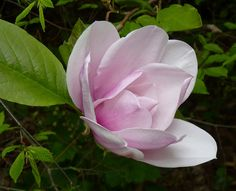 Large Pale Pink Magnolia flower | Flickr - Photo Sharing!