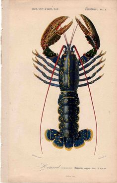 1849 lobster engraving extremely rare antique french crustacean print