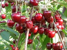 Čerešňa - 'Sweetheart' - Ovocná škôlka - STAPE VAJDA s.r.o. Prunus, Plant Projects, Fruit Trees, Garden Inspiration, Cherry, Food, School, Lavender, Essen