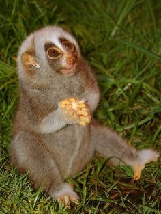 Slow loris makes me happy. I may have found a new favourite animal Sitting & Thinking