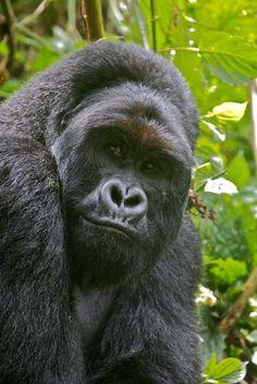 Safarious - Gorillas in Virunga National Park, DRC / Michael Lorentz / Gallery Rare Animals, Strange Animals, Types Of Monkeys, Silverback Gorilla, Gorilla Trekking, Mountain Gorilla, Paws And Claws, Baboon, Pandas