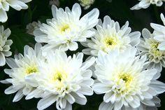 Chrysanthemum Baltica Chrysanthemum, Fresh, Plants, Plant, Planets, Chrysanthemum Morifolium