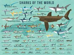 Oopsy Daisy Fine Art For Kids Sharks of The World by Daviz Canvas Art Zebra Shark, Shark Art, Blue Shark, Whale Sharks, Weird Sharks, Funny Sharks, Thresher Shark, Hammerhead Shark, Megamouth Shark