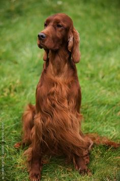 Irish Setter. First breed of dog our family every owned. I miss kelly this looks just like her too.