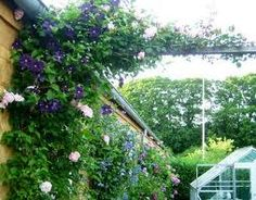 Climbing rose Albertine with Clematis (possible around blue shutters or front door alcove)