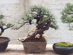 Pinus mugo Flash
