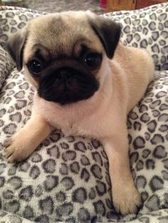 Lady Isabella Louise Antoinnette Pug puppy