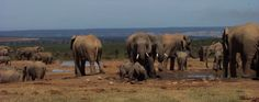 Elephants are known as a keystone species - they have a large effect on their environment and impact the biodiversity surrounding them. Elephants Playing, Volunteer Abroad, Wildlife Conservation, Kenya, Habitats, South Africa, Creepy, Thailand, Environment