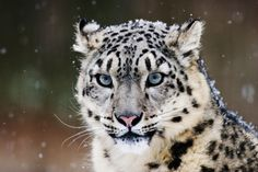 <3  Another endangered cat...  Snow Leopard.