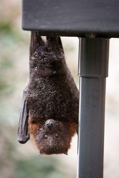 Rodrigues fruit bat  Fruit don't you bat houses. They hang from tree branches. www.batsbirdsyard.com = Bat Houses