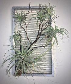 Items similar to Tillandsia Screen on Etsy Hanging Air Plants, Outdoor Plants, Indoor Herbs, Indoor Gardening, Hanging Planters, Inside Plants, Cool Plants, House Plants Decor, Plant Decor