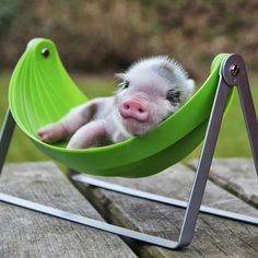 Cute Piglets - New Baby Pigs! Cross Breed Babies Just Born Cute Baby Pigs, Cute Piglets, Baby Animals Super Cute, Cute Little Animals, Cute Funny Animals, Baby Piglets, Little Pigs, Baby Animals Pictures, Cute Animal Pictures