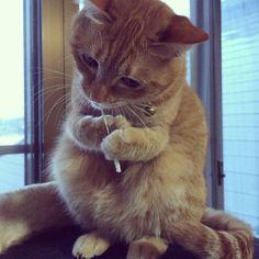 「おはよう。  トラ猫祭りなのに、リス風。  #ねこ#猫#cat#ネコ#茶トラ#kitty#トラ猫祭#なぜかリス風#綿棒」