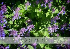 What's Blooming In My Garden In June ~ Catmint Perennial