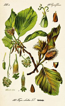 Vintage botanical illustration of beech tree. Vintage Botanical Prints, Botanical Drawings, Botanical Art, Botanical Gardens, Technical Illustration, Plant Illustration, Botanical Illustration, Flora Und Fauna, Plant Identification
