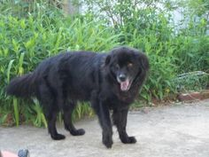Reiki Attunement For Max Newfoundland Chow Mix Baby Dogs Dog