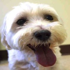 SUPER URGENT 9/20/14 Manhattan Center   OZZY - A1014713  NEUTERED MALE, WHITE, MALTESE, 9 yrs OWNER SUR - ONHOLDHERE, HOLD FOR ID Reason NO TIME  Intake condition EXAM REQ Intake Date 09/20/2014, From NY 10002, DueOut Date 09/20/2014,  https://www.facebook.com/Urgentdeathrowdogs/photos/a.617942388218644.1073741870.152876678058553/873803962632484/?type=3&theater