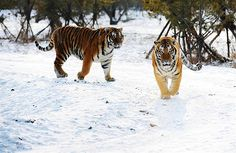 SIBERIAN TIGERS. ANOTHER OF GOD'S MAGNIFICENT CREATIONS THAT MAKES THIS A WONDERFUL WORLD TO BEHOLD!