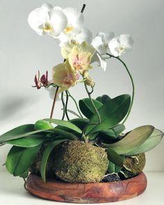 Kokedama orchid moss ball DIY plants indoor Penny Royal