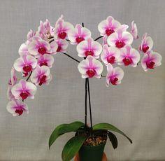 Orchid: Phalaenopsis Blushing Rosey Lips 'Hampshire'