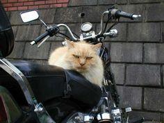 Badass Harley cat