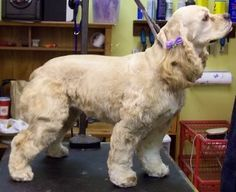 cocker spaniel puppy cut   Charlottesville's Professional Dog Grooming
